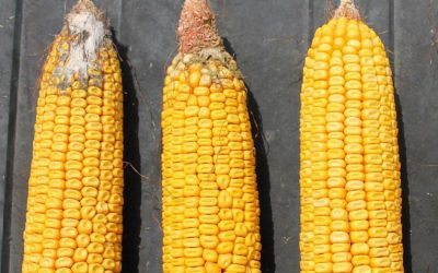 Protect Your Yield with Agrisure Viptera® Stacked Products